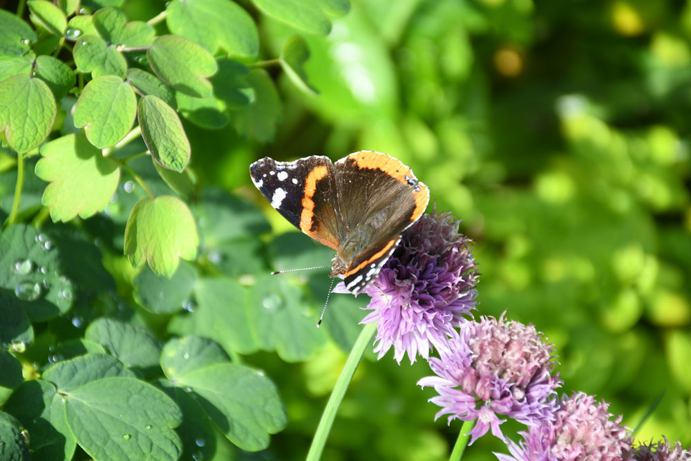 Red Admiral on Chive flowers