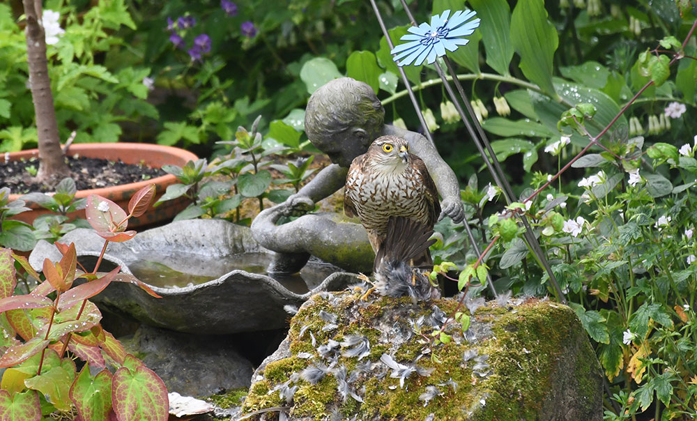 Visit from Sparrowhawk